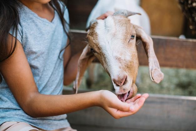 Primo piano di una capra che mangia cibo dalla mano della ragazza