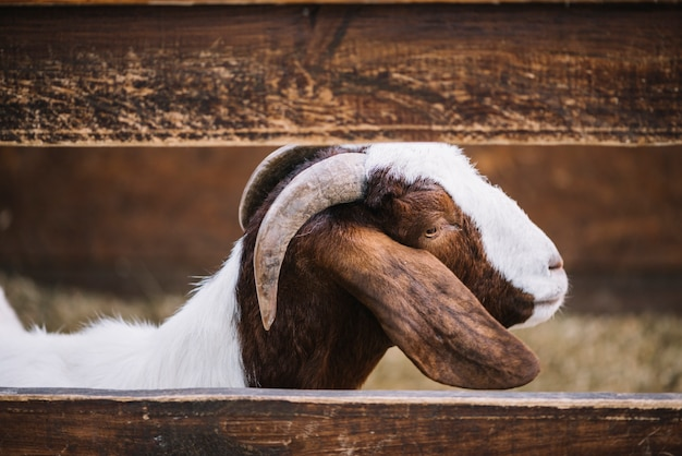 Close-up of a goat peeks standing behind the wooden fence on the farm