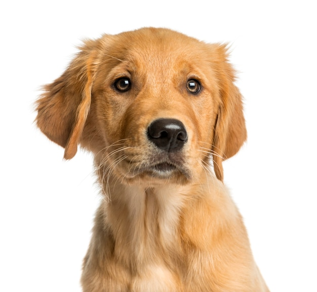 Close-up of a golden retreiver puppy in front of a white wall