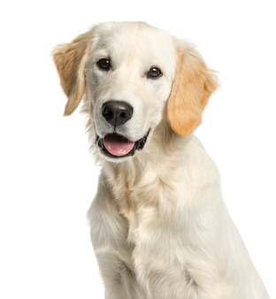 Close-up of a golden retriever in front of a white wall