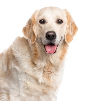 Close up of a golden retriever looking at the camera and sticking the tongue out isolated on white