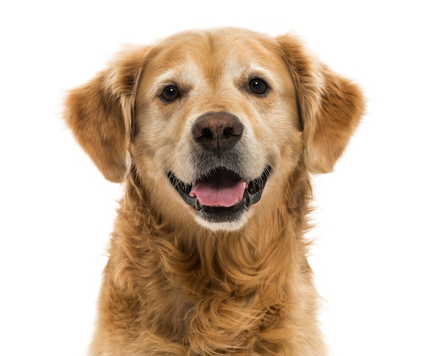 Close-up of a golden retriever panting isolated on white