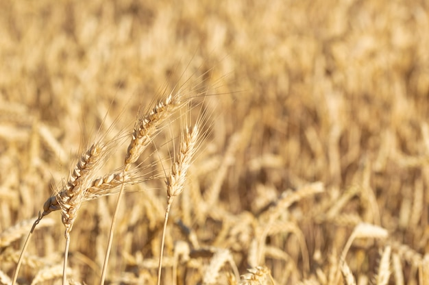 Close-up of a golden wheat field and sunny day.