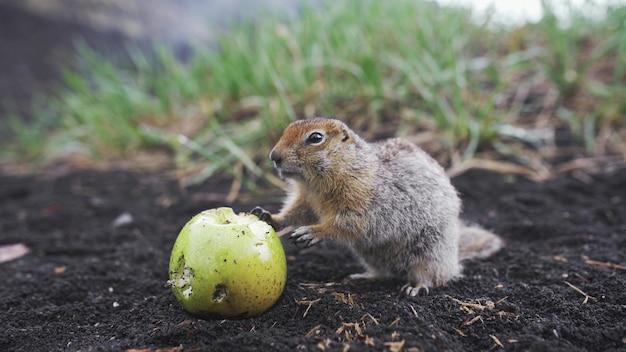 リンゴを食べるホリネズミをクローズアップ