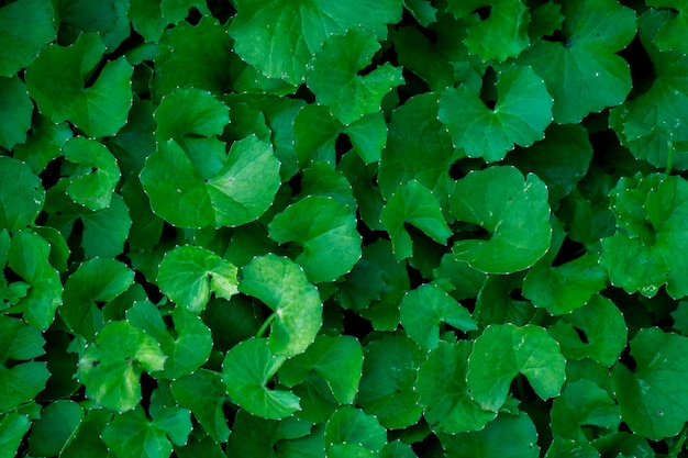 Close up gotu kola leaves