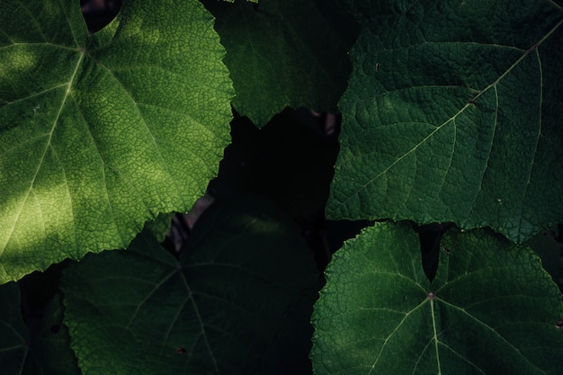 Close up grape leaves