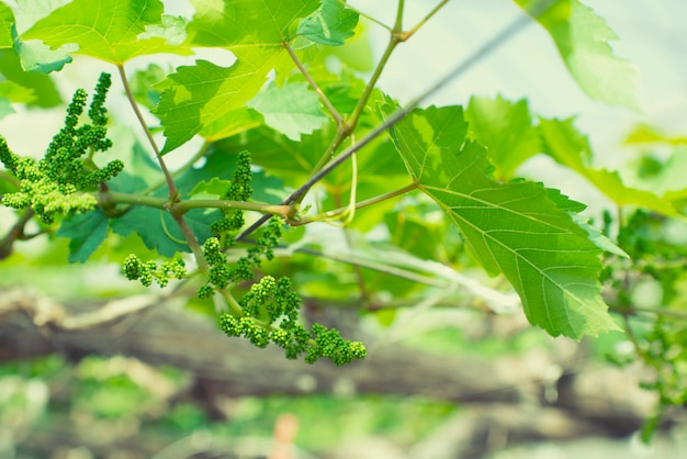 Close up grapevine with baby grapes and flowers