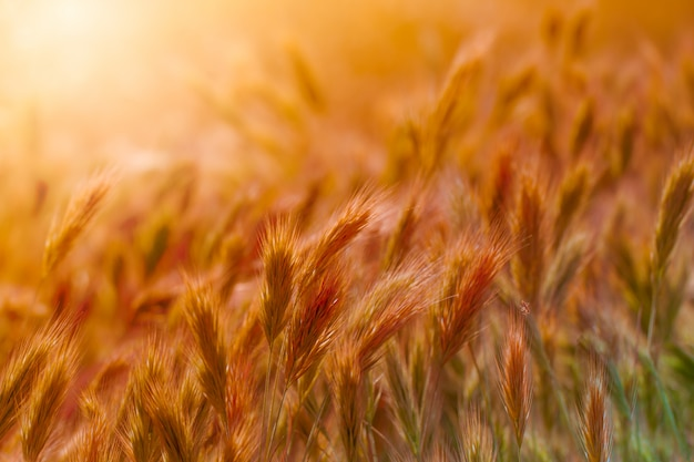 Close up of grass seed stalks in the meadow at sunset.