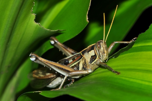 Close up of a grasshopper on green leaf