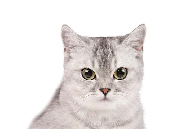 Крупным планом серый кот изолировать