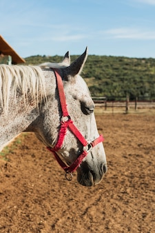 Close-up gray horse with red bridle