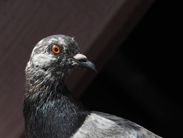 Close up of gray pigeon head under old garage tile roof on afternoon