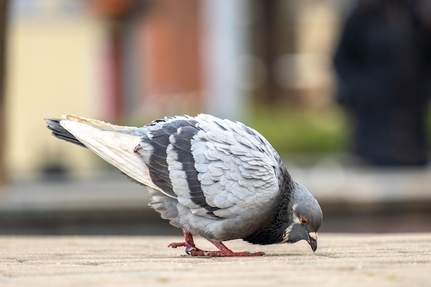 Close up of gray pigeons birds walking on a city street searching food