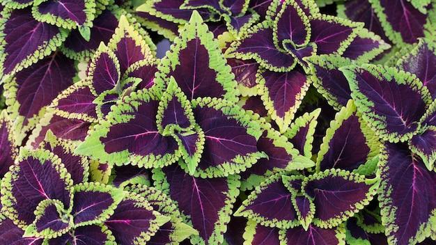 緑と紫のコリウスsolenostemonhybridaが庭に背景を残してクローズアップ
