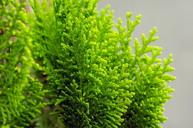 Close up of green arborvitaes (thuja spp.) leaves, in shallow focus, evergreen members of the cypress family, for wallpaper