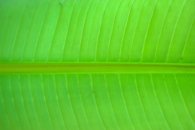 Close up on green banana leaf, can use for background or texture