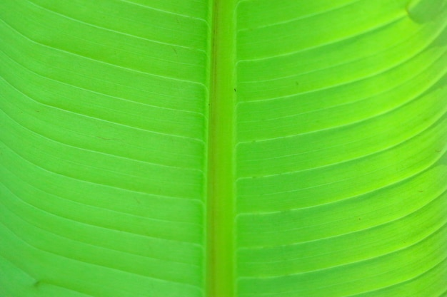 Close up on green banana leaf, can use for background