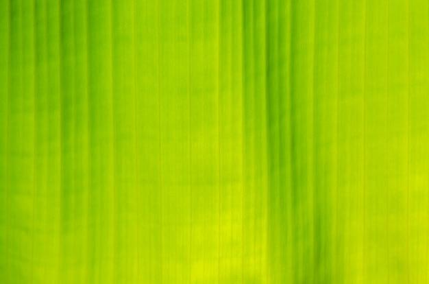 Close up green banana leaf texture. wallpaper