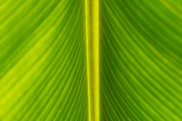 Close up green banana leaves under, with sun flare