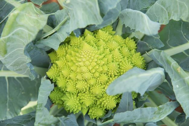Close up green cabbage in garden field