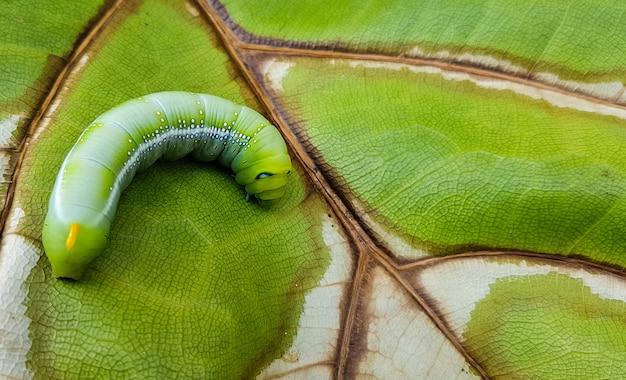 クローズアップ緑のキャタピラー、新鮮で乾燥した葉