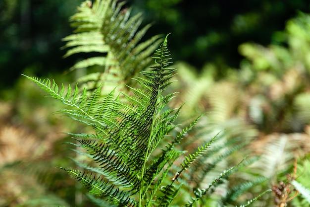 Крупным планом зеленая ветка папоротника, свежие листья листвы в солнечных лучах