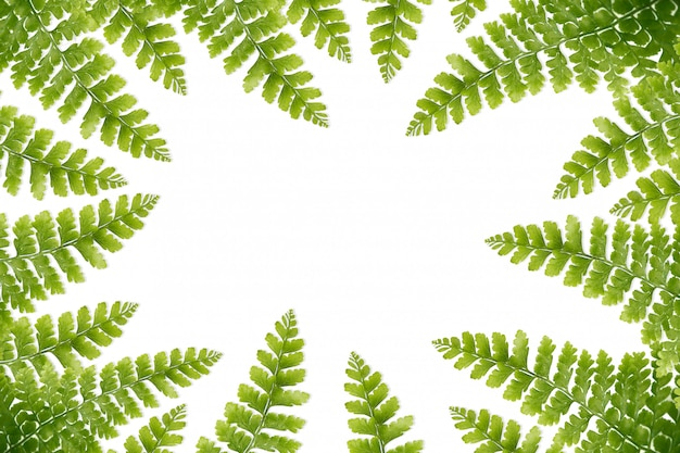Close-up,green fern leaves isolated white background.