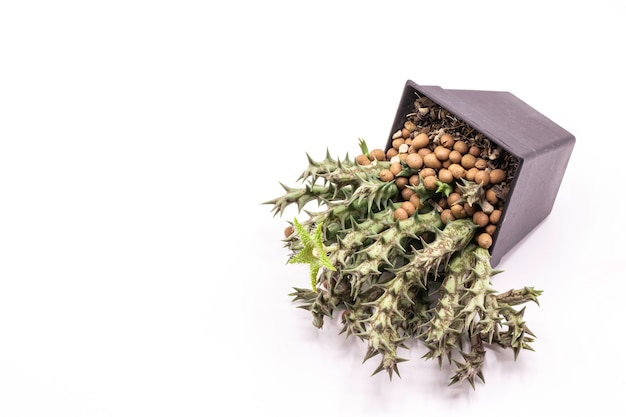 Huernia多肉植物分離の緑の花を閉じます。