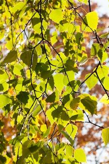 Крупным планом зеленая листва, береза в осенний сезон