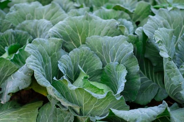 畑で育つ緑の新鮮なキャベツの成熟した頭を閉じます