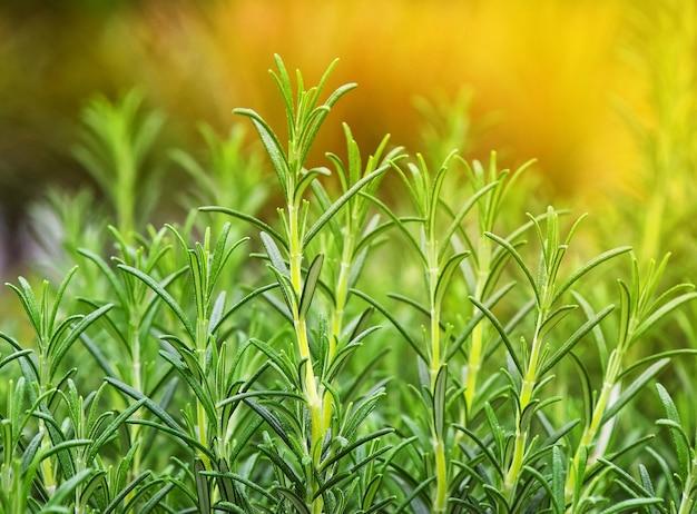 녹색 신선한 로즈마리 매운 허브(rosmarinus officinalis) 성장을 닫고 낮은 각도 보기