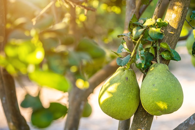 Close up of green grapefruit grow on the grapefruit tree in a garden background  harvest citrus fruit thailand.