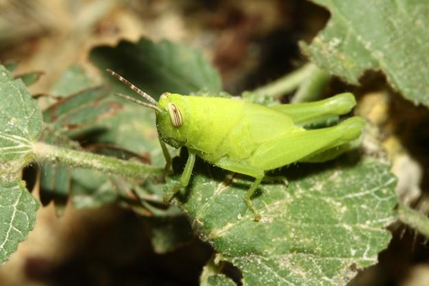 Крупным планом зеленый кузнечик - красивое животное-ошибка на листе