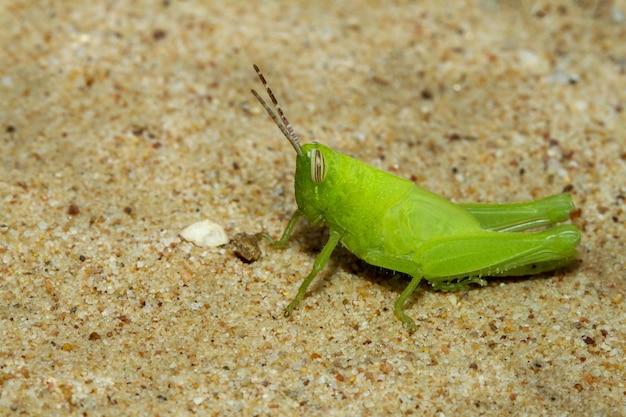 Крупным планом зеленый кузнечик - красивое животное-насекомое на песке