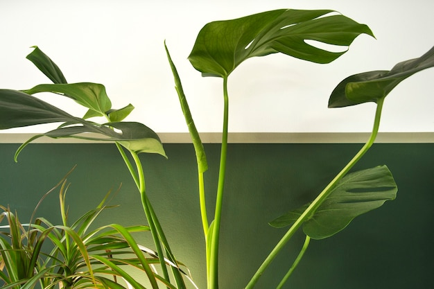 Close up of green indoor house plant on white and green wall minimal style interior decoration with ...