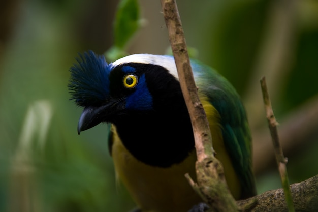 Close up of a green jay (cyanocorax yncas), blue bird with yellow eyes