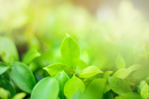 Крупным планом вид на природу зеленых листьев и размытый фон зелени в саду