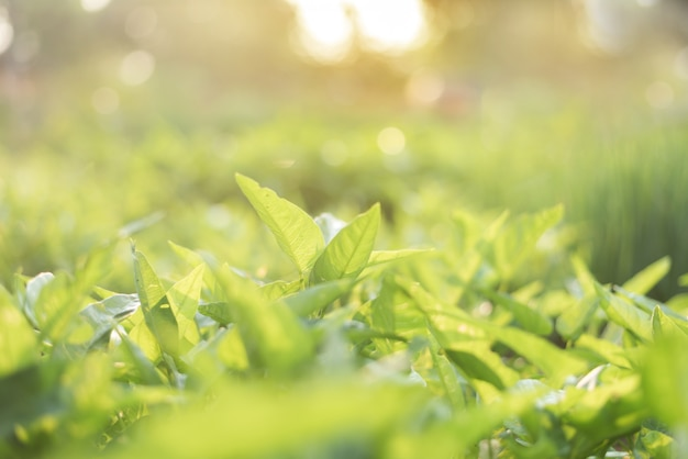 Close up of green leaf view of nature in organic vegetable farm with sunlight