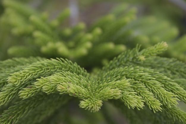 Close up green leafs of norfolk island pine on dark background.
