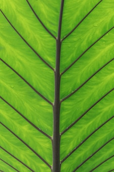 Close up green leave of elephant ear plant texture background.