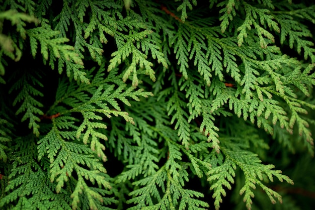 Close up of green leaves of thuja tree on dark background.