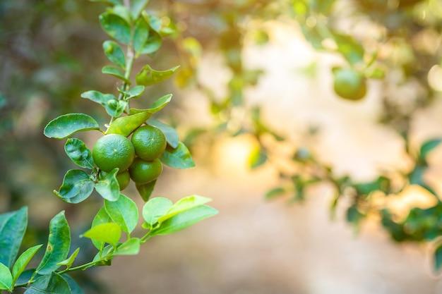Close up of green lemons grow on the lemon tree in a garden background  harvest citrus fruit thailand.