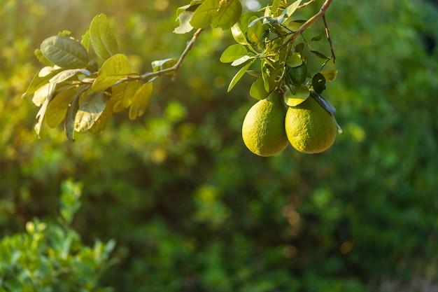 Close up of green lemons grow on the lemon tree