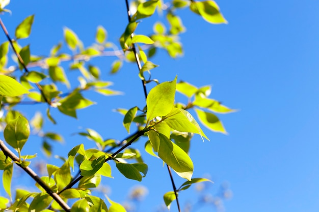 Close-up of green lime tree leaves in the spring, in the background a blue sky