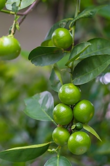 Close-up of green limes hanging from the branches and leaves on the lime tree.blurred background
