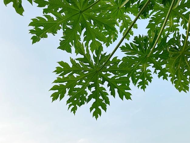 青い空を背景に緑のパパイヤの葉を閉じる