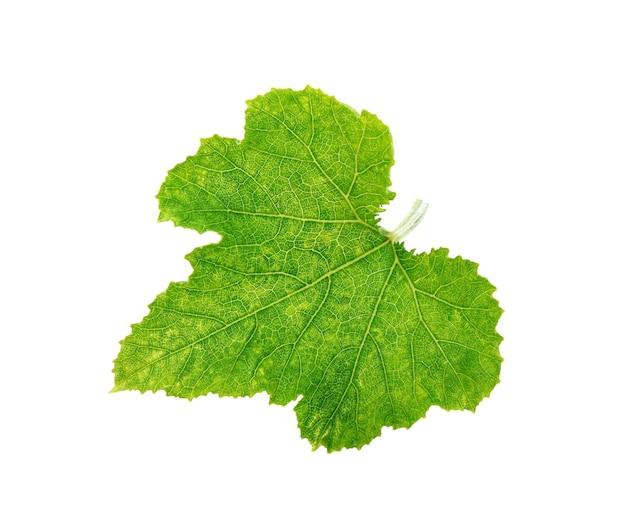白い壁に分離された緑のカボチャの葉を閉じる