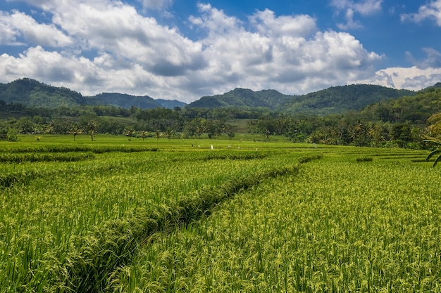 Close up of a green rice field against dramatic blue sky. view of a paddy field