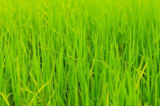 우기에 논 농장에서 자라는 녹색 논을 닫습니다.