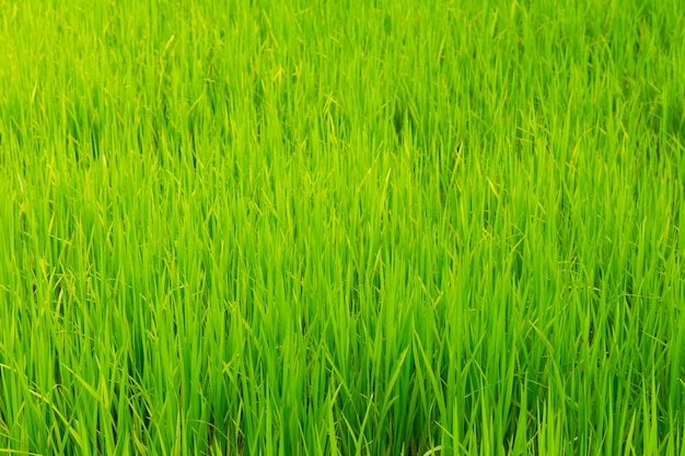 梅雨の水田で育つ緑の田んぼをクローズアップ